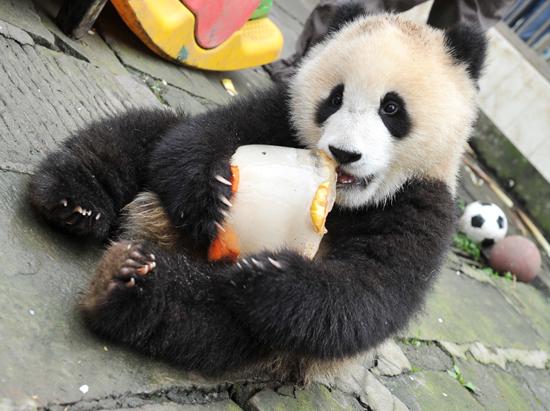 壁纸 大熊猫 动物 狗 狗狗 550_411