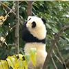 放归大熊猫