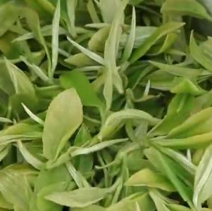 福州茶园采茶季