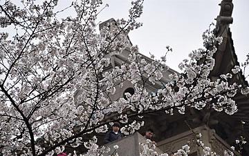武汉大学樱花绚烂绽放 铺排绵延宛若云带