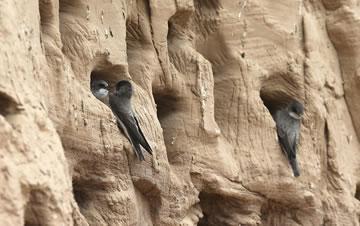 上千只燕子工地筑巢 施工单位选择停工
