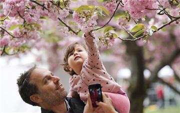 美国纽约樱花绽放