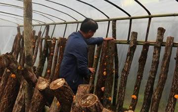 陕西村民种植金色木耳 年入百万