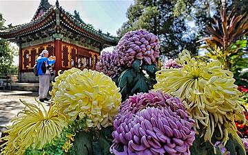 北京:又到金秋赏菊时节