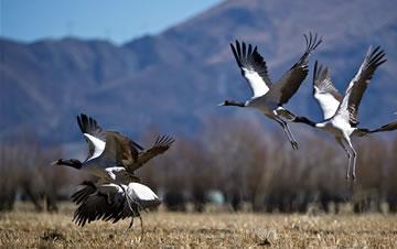 黑颈鹤高原越冬
