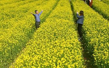 福州近百亩油菜花盛开 民众踏青赏花