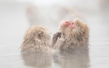 日本猕猴泡露天温泉 表情惬意