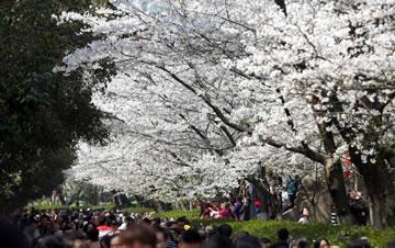 春分时节 武汉大学樱花烂漫