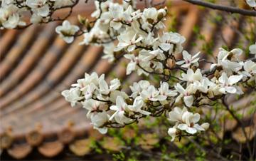 故宫传心殿的玉兰花已经到了盛花期