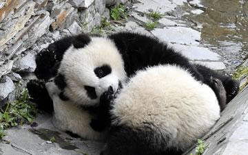 四川卧龙:大熊猫宝宝春日卖萌