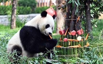"""大熊猫""""雅吉""""济南迎4岁生日"""