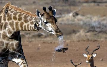 南非牛椋鸟体验淋浴 被长颈鹿口水喷一身