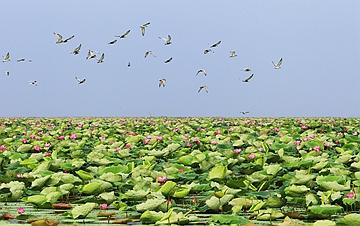 看今日洪湖:鸥鸟翔集 万荷飘香