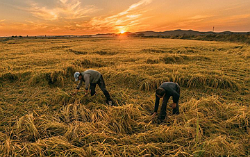 吉林:黑土地上稻香飘