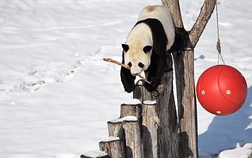 亚布力:大熊猫迎来了又一个雪季