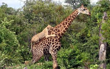 长颈鹿遭狮群围猎 殊死抵抗4小时逃脱