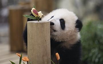"""大熊猫""""彩浜"""":我半岁了!"""