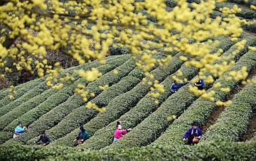 """贵州丹寨:""""扶贫茶园""""春茶开采"""