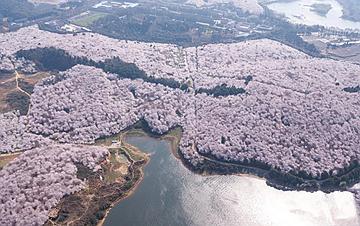 贵州贵安:樱花烂漫引客来