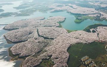 航拍贵州贵安新区万亩樱花园