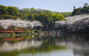 春日樱满园