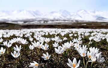 野百合的春天