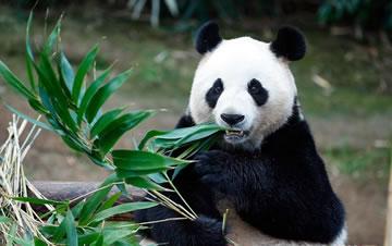 """旅韩大熊猫""""爱宝""""""""乐宝""""来韩三周年"""