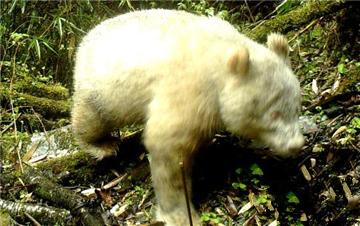 全球首例:四川卧龙拍摄到白色大熊猫
