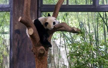 """上海:大熊猫宝宝取名为""""七七"""""""