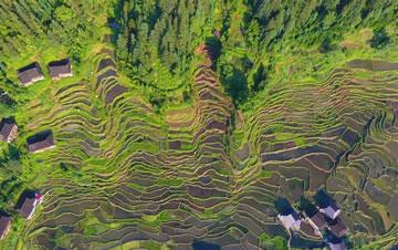 广西融水:夏日梯田