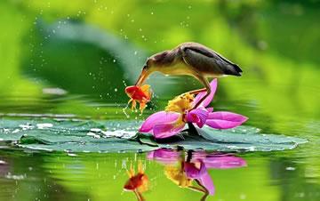 河北唐山:水鸟戏荷