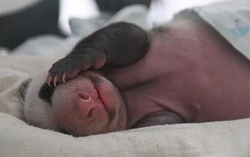 重庆动物园两只大熊猫同日诞下双胞胎