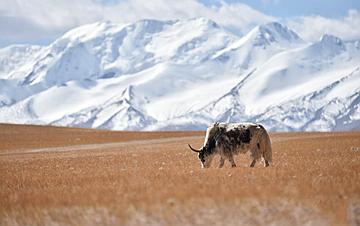 西藏:秋日夏岗江雪山