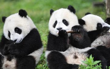 最新数据发布:全球圈养大熊猫数量达600只