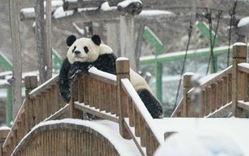"""大熊猫在黑龙江享受""""雪季"""""""