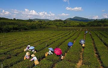 海南白沙:有机茶园采摘忙