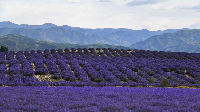 """新疆:""""紫色""""�就致富路"""