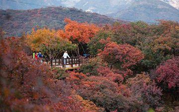 北京坡峰岭:漫山红叶引游人