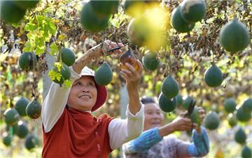 江西抚州:小瓜蒌助增收