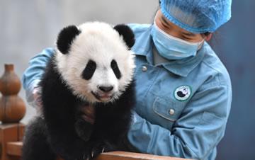 大熊猫宝宝健康成长