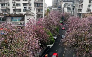 广西柳州:紫荆花开满城春