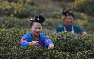 贵州丹寨:早春采茶制茶正当时
