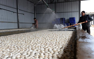双孢菇产业助增收