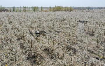 新疆:梨农授粉用上无人机