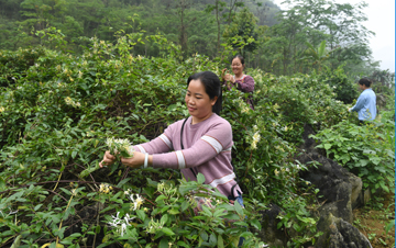 广西马山:金银花产业助增收