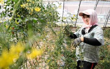 毛乌素沙漠边缘 建起沙漠瓜菜产业园区