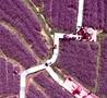 紫色花海引游客