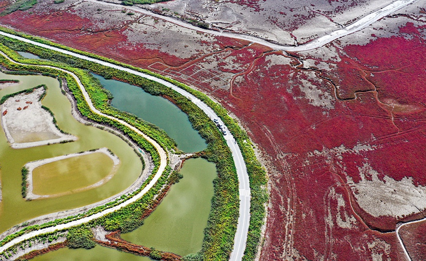 辽宁盘锦:红海滩碱蓬草生长旺盛