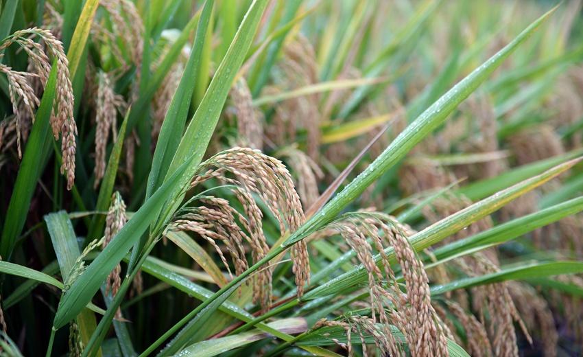 1603.9公斤!袁隆平团队研发的杂交水稻双季亩产刷新纪录