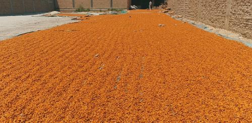 巴基斯坦椰枣的窘境